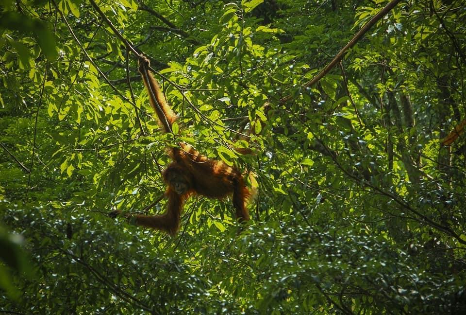 Sumatra Orangutan