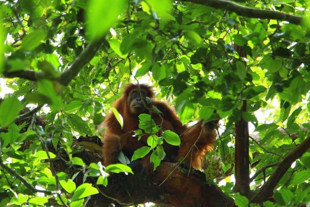 Wild Sumatran Orangutan