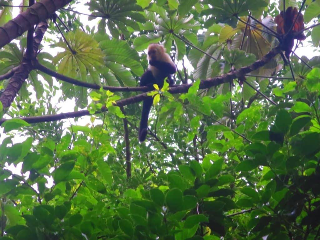 Costa Rica Capuchin