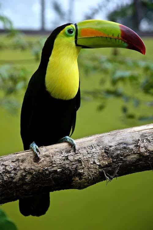 Costa Rica Rainforest Toucan